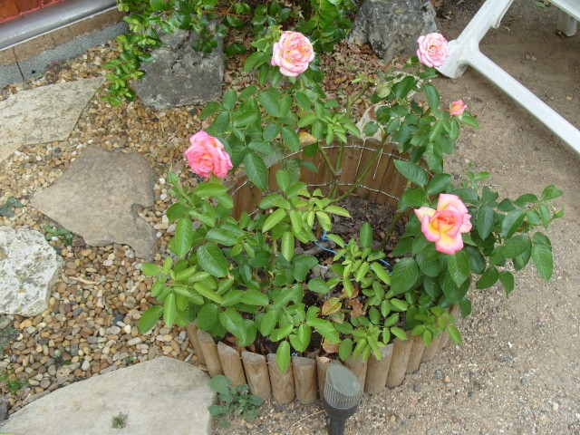 Petit album de roses - Page 2 S1051313