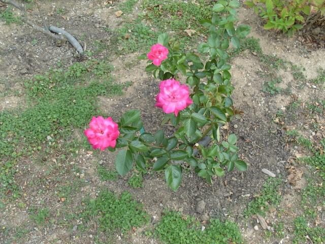 Petit album de roses - Page 2 S1051317