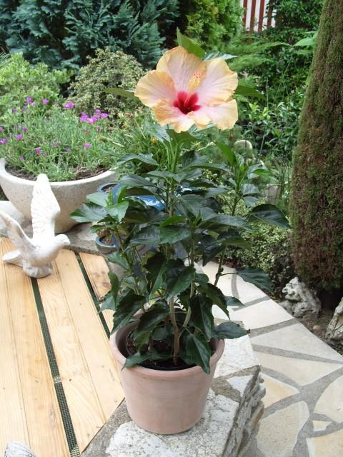 hibiscus Alexandra S1051331