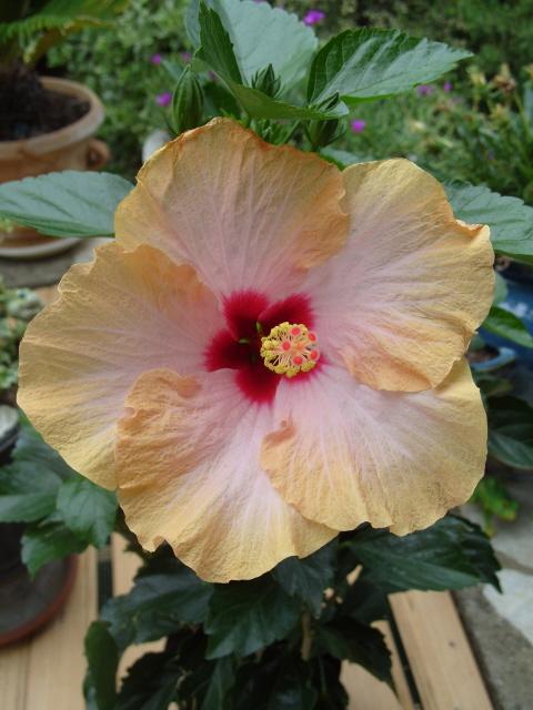 hibiscus Alexandra S1051332