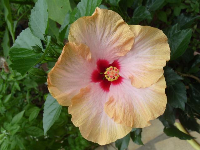 hibiscus Alexandra S1051333