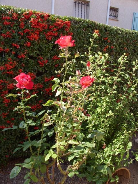 Petit album de roses - Page 2 S1051711