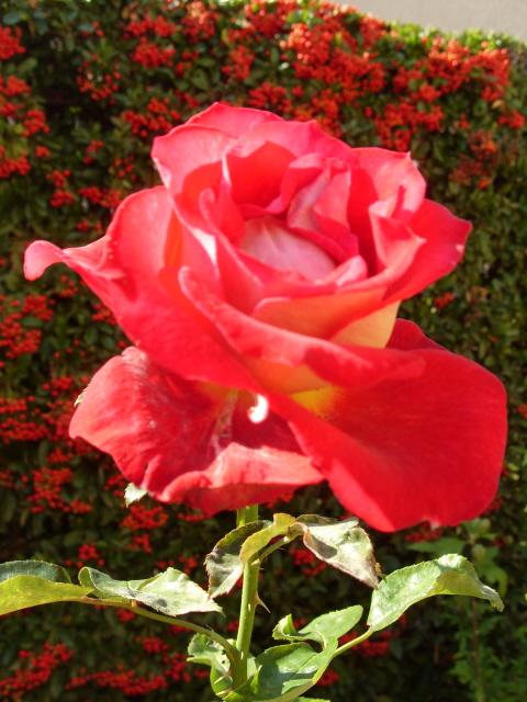 Petit album de roses - Page 2 S1051712
