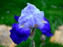 Iris Germanica G14dsc10