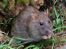 Goupil a la chasse. Un_rat10