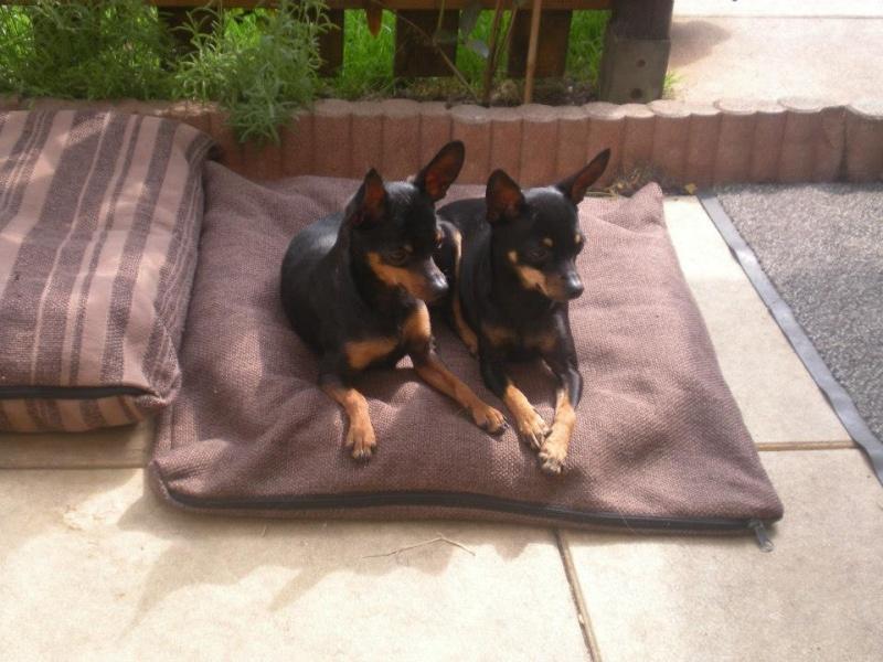 Marla et Junior, 2 adorables ratiers de Prague, adoptables ensemble 10117310