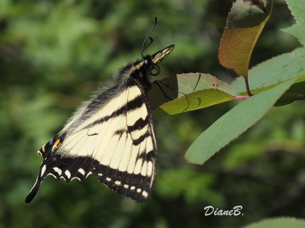 Papillon Maachaon Dscf6011