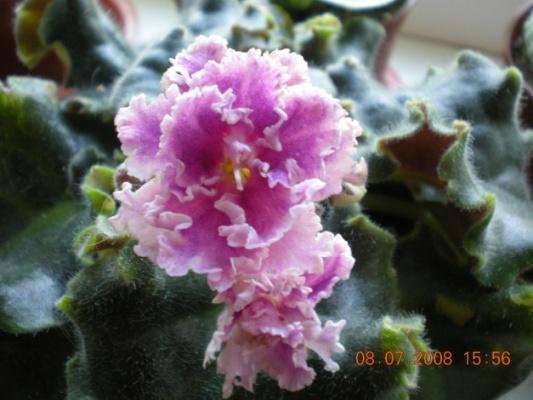 Rose Ruffles Dscn0910