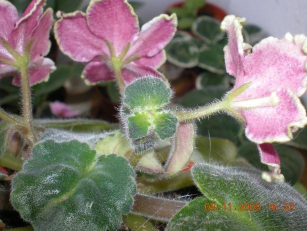 Выращивание листовых черенков в торфяных таблетках. - Страница 3 Dscn1010