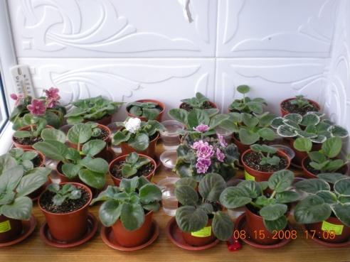 Выращивание листовых черенков в торфяных таблетках. - Страница 3 Dscn1017