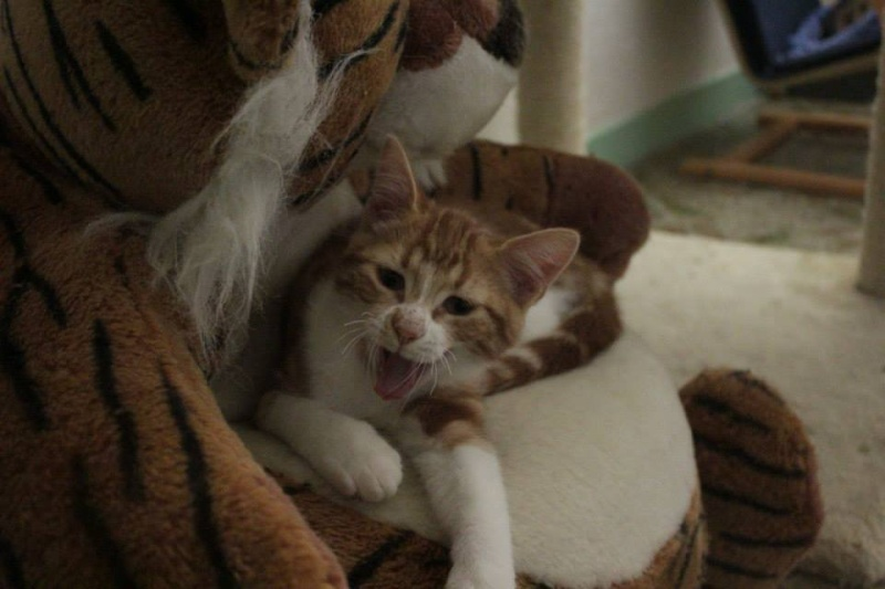 GEORGES et LUNA 2 ans - FIV+ (Catscity Cergy 95) ! George14