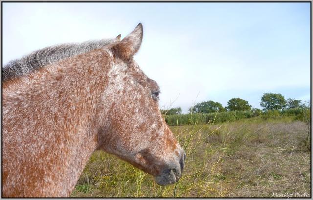 Cheval appaloosa - Portail P1110617