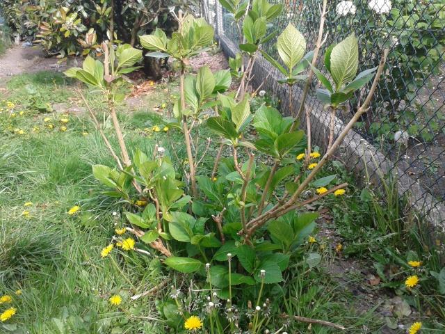 Qui ya t'il dans mon jardin de bon pour mes todons? Help besoin d'aide pour reconnaitre les plantes Arbust10