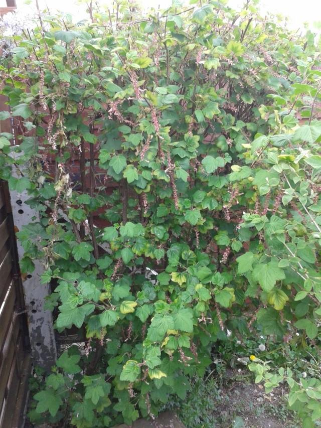 Qui ya t'il dans mon jardin de bon pour mes todons? Help besoin d'aide pour reconnaitre les plantes Buisso10