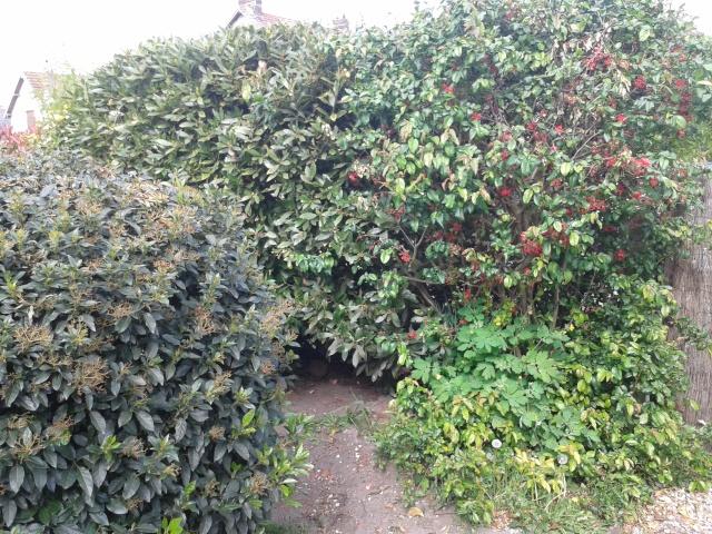 Qui ya t'il dans mon jardin de bon pour mes todons? Help besoin d'aide pour reconnaitre les plantes Haie_210