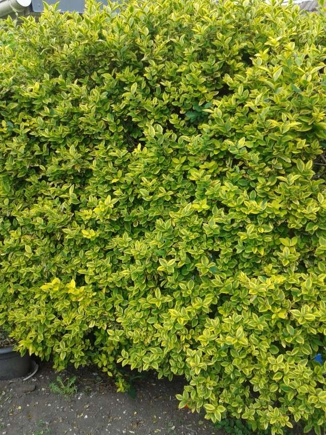 Qui ya t'il dans mon jardin de bon pour mes todons? Help besoin d'aide pour reconnaitre les plantes Haie_n11