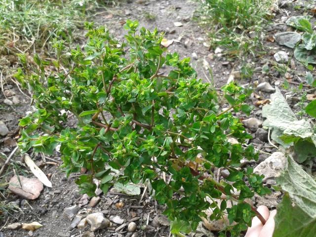 Qui ya t'il dans mon jardin de bon pour mes todons? Help besoin d'aide pour reconnaitre les plantes Plante19