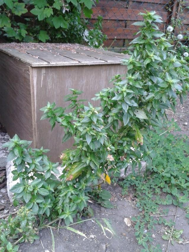 Qui ya t'il dans mon jardin de bon pour mes todons? Help besoin d'aide pour reconnaitre les plantes Plante20