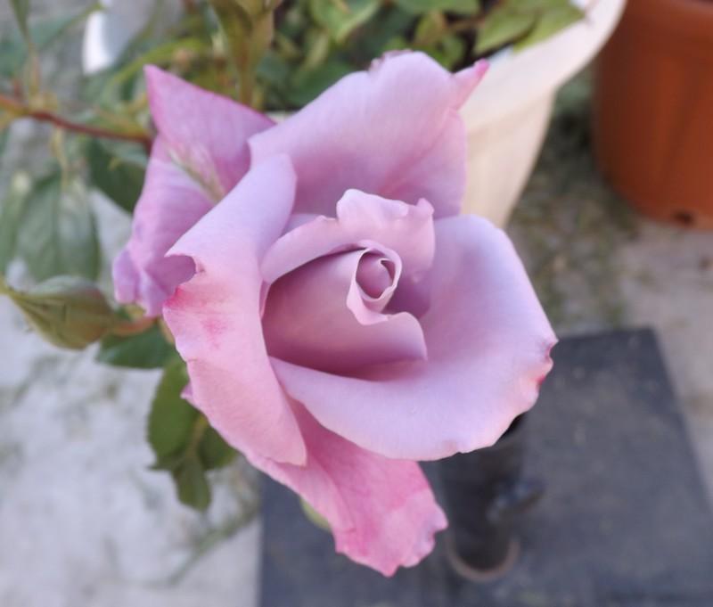 Floraisons printanières 2014 - Page 3 Rosesi10