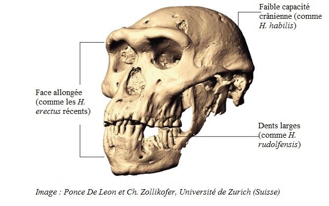 Crâne de Dmanisi 3d10