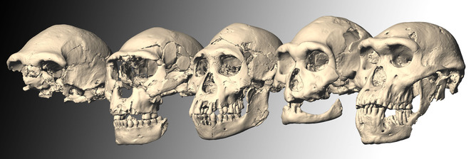 Crâne de Dmanisi 5_cran10