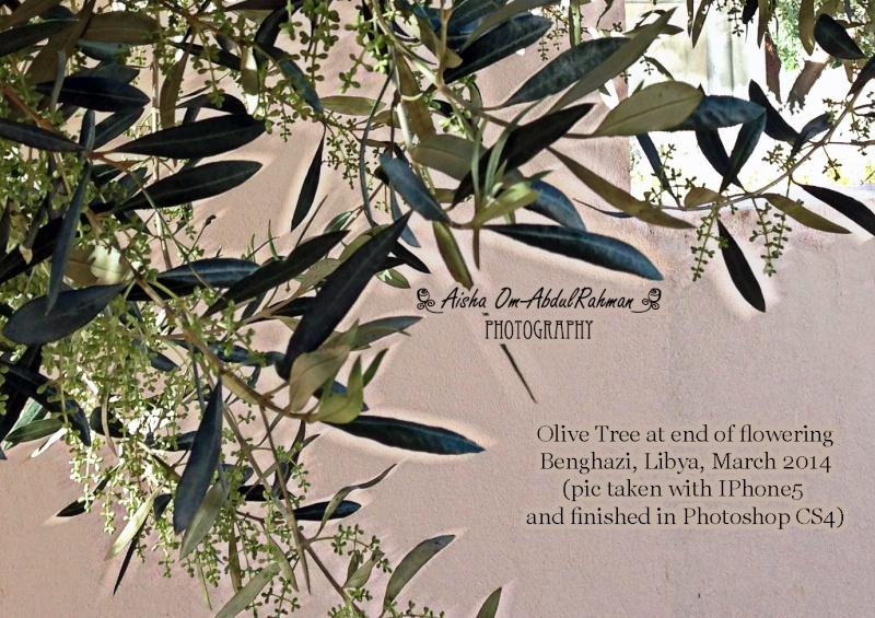 Libya - It's nature & culture - Page 2 Olive_12