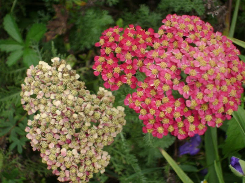 photo fleurs Dsc00518