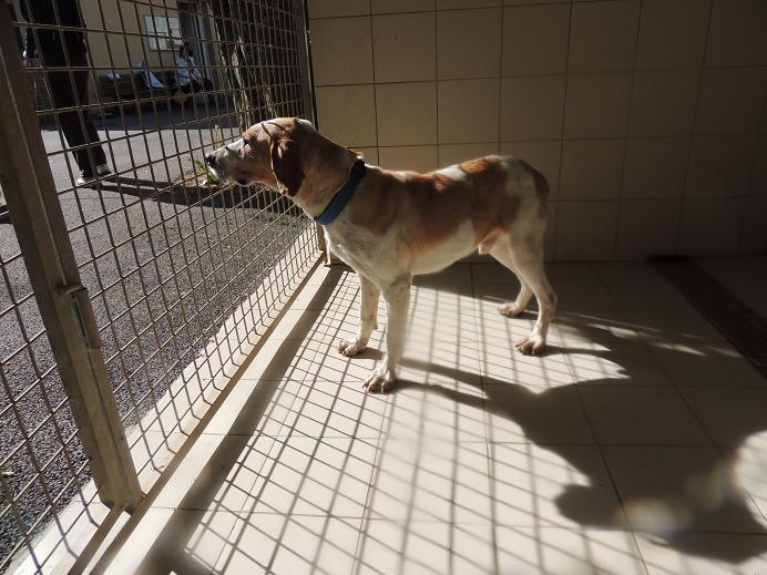 Huggy- chien épagneul mâle  Diman104