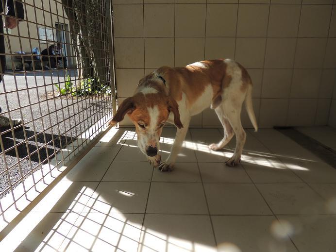 Huggy- chien épagneul mâle  Diman105