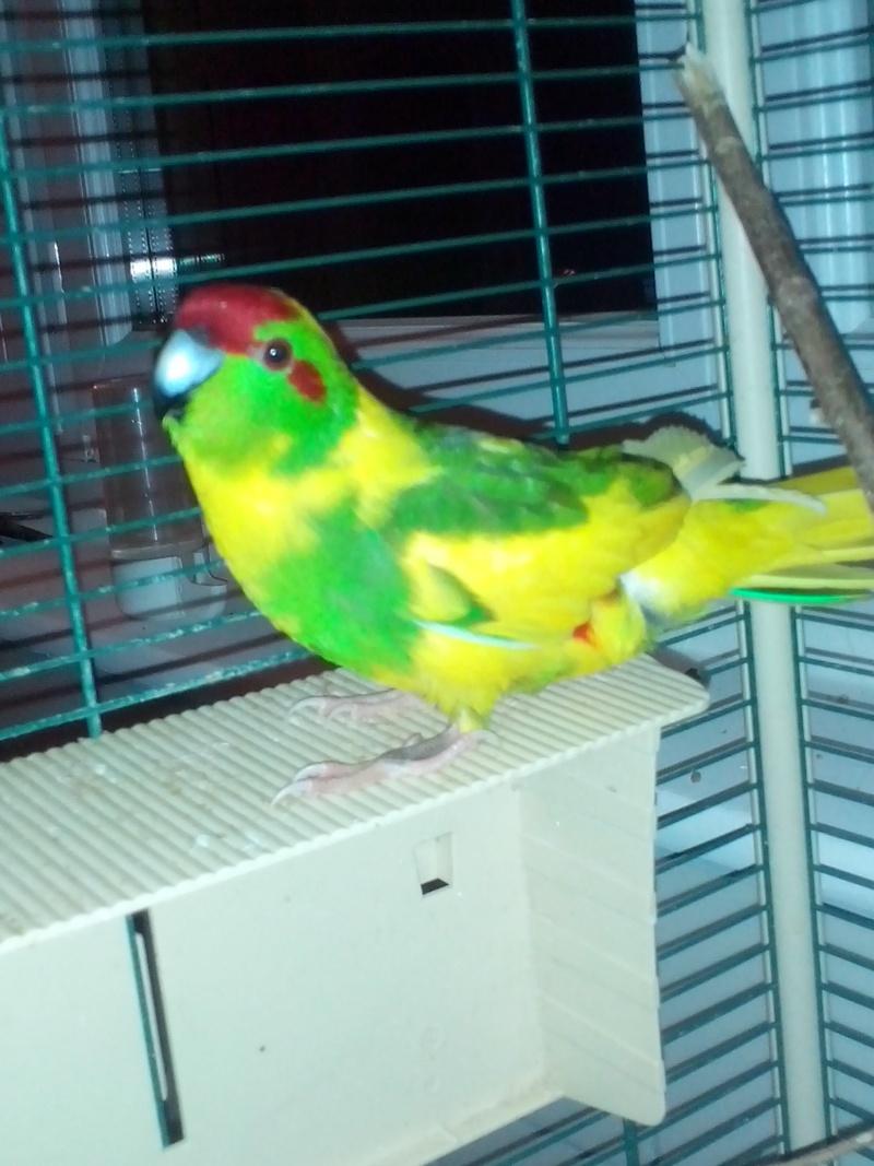 Photo posté pour Manu62 de son Kak jaune mâle ou femelle ??  - Page 3 Img_2051