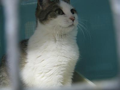 PIOU-PIOU chatonne maltraitée 7 mois en cage en refuge (69) Img_6512