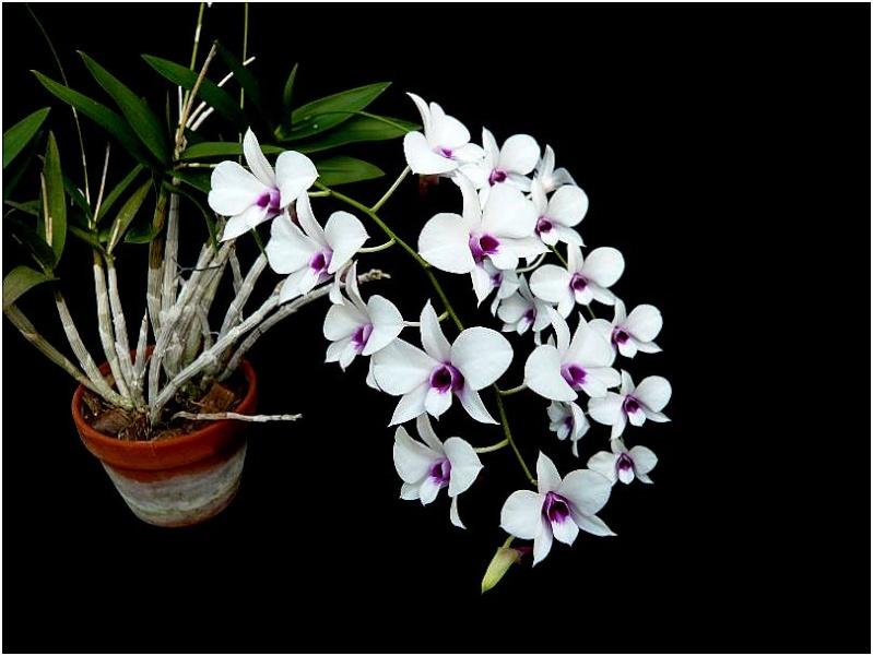 Drôle de substrat pour un Dendrobium de type Phalaenopsis Dendro11