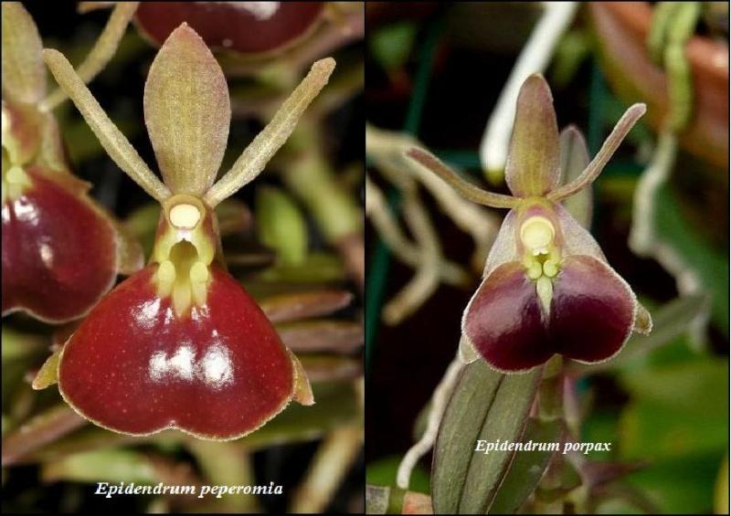 Epidendrum (Nanodes) porpax Epiden10