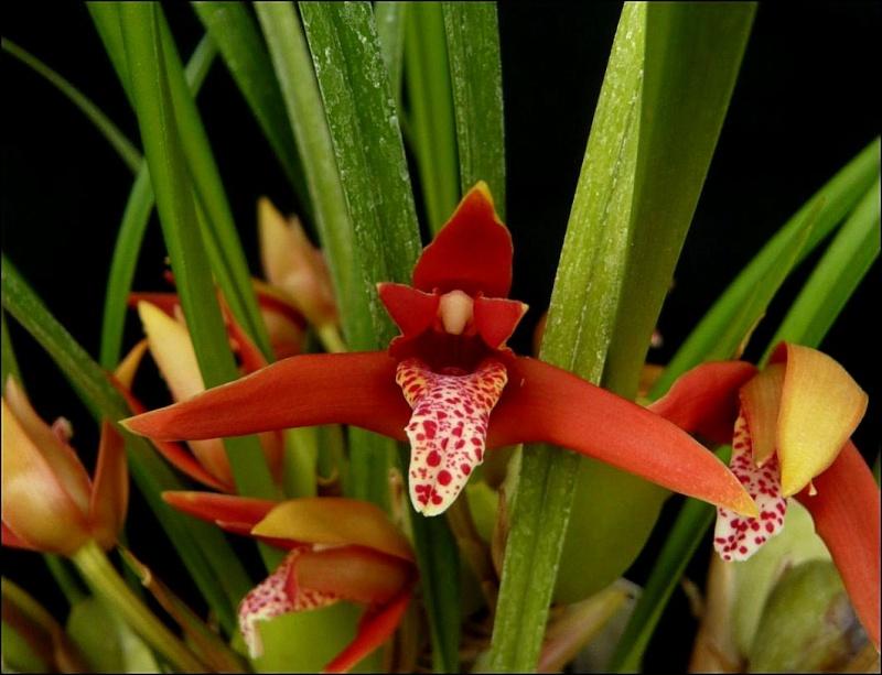 Maxillariella (Maxillaria) houtteana Maxill12