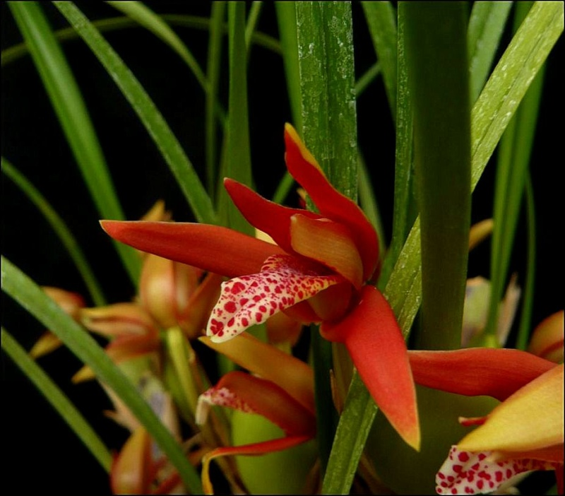 Maxillariella (Maxillaria) houtteana Maxill13