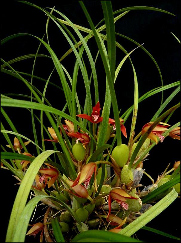 Maxillariella (Maxillaria) houtteana Maxill14