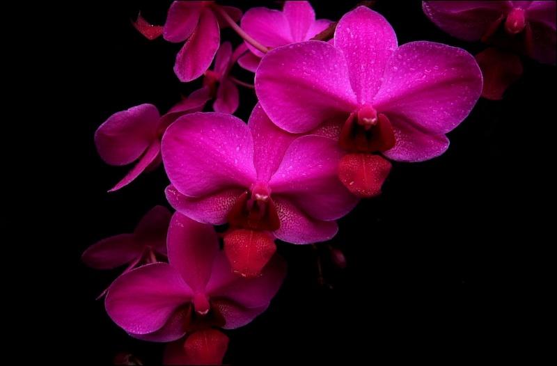 Phalaenopsis Miva Starlet 'Croisette' Phalae28