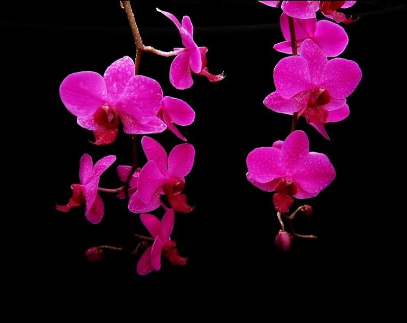 Phalaenopsis Miva Starlet 'Croisette' Phalae29
