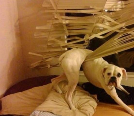 Biệt tài 'xin lỗi' của những chú chó 18923_10