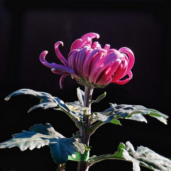 Hoa cúc Hoa_cu12