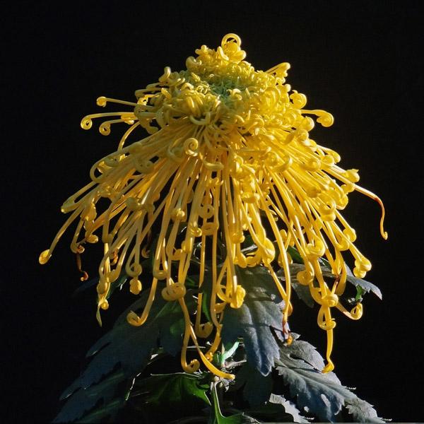 Hoa cúc Hoa_cu13