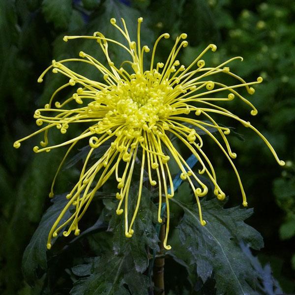 Hoa cúc Hoa_cu14