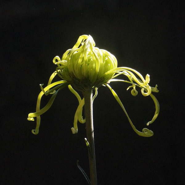 Hoa cúc Hoa_cu16