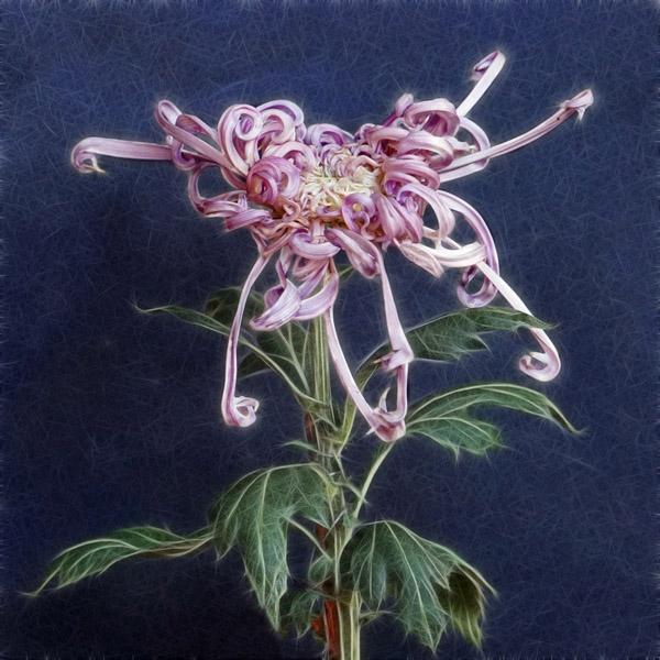 Hoa cúc Hoa_cu19