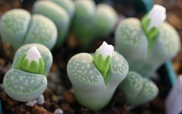 Cây hoa đá Hoa_da11