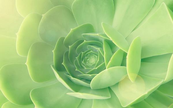 Cây hoa đá Hoa_da12