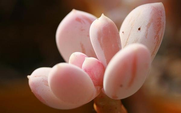 Cây hoa đá Hoa_da17