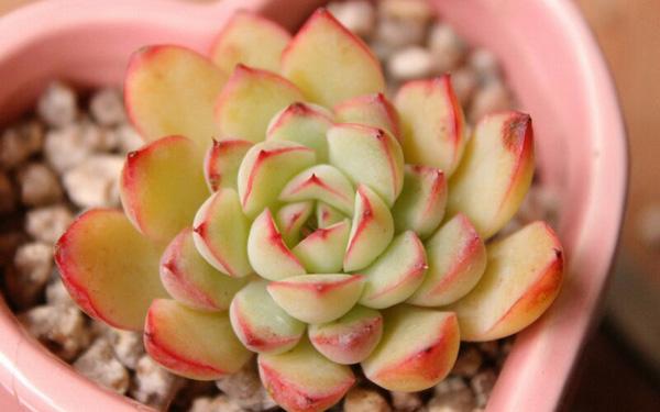 Cây hoa đá Hoa_da18