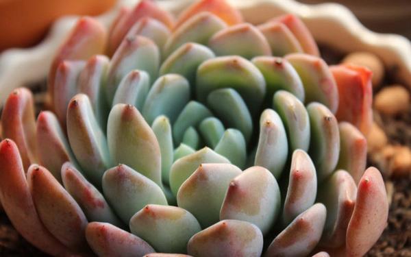 Cây hoa đá Hoa_da19