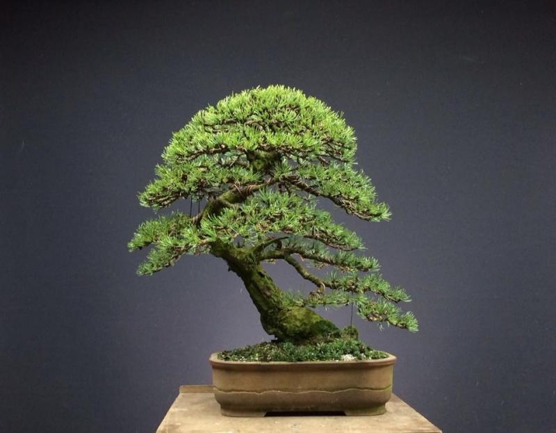 Pinus mugo 2004 - Page 4 15247410